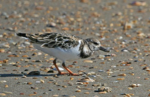 Ruddy Turnstone Photoshop_IMG_5042