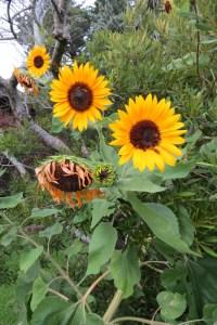 Sunflowers along Sunset Drive. Photo by C. Leinbach