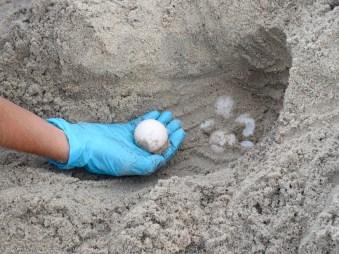 Sea turtle eggs. Photo: Ruth Fordon