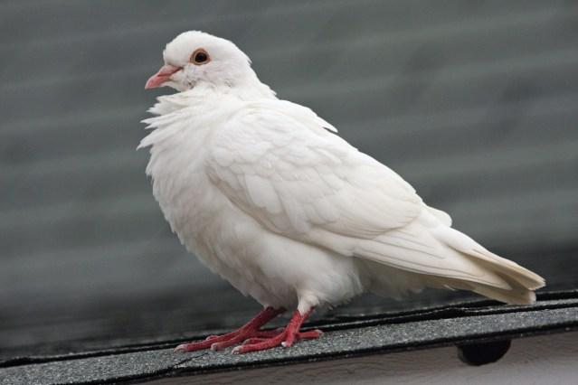 White dove paloma 2010-10-02 17.34.40