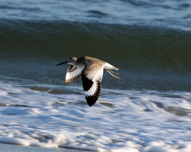 Willet in flight. Photoe by P. Vankevich