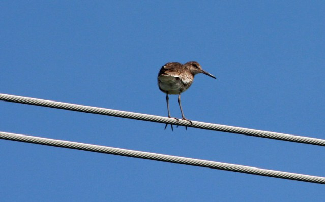 Willet perching on powerline. Photo by P. Vankevich
