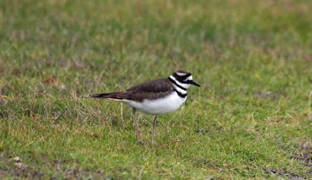 Killdeer at Ocracoke airport. Photo by P. Vankevich