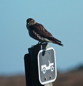 Merlin seen on a Portsmouth Island Christmas Bird Count. Photograph by P. Vankevich