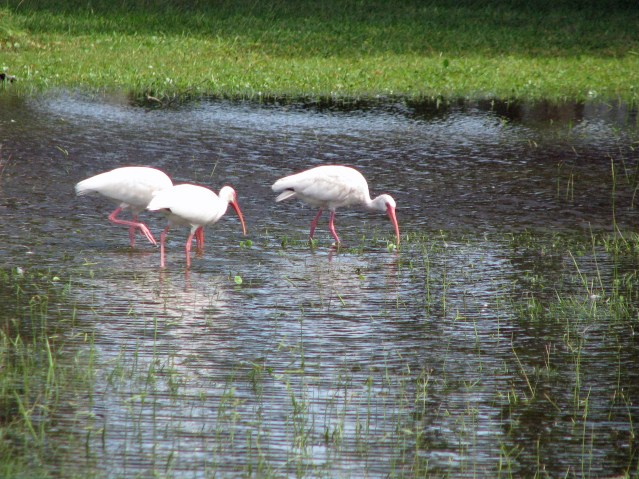 White Ibis forage in the rain-soaked grass around the Ocraoke NPS Visitor Center. Photo by P. Vankevich