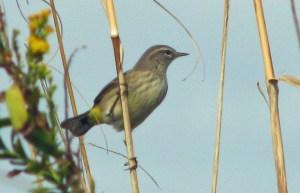 Palm Warbler PS Crop Ocracoke nov 6 05