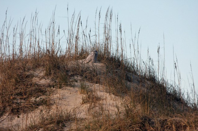 Ocracoke dunes with Snowy owl, winter of 2014. Photo by P. Vankevich