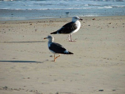 Great black-backed lesser black-backed gull PS 09.34.12
