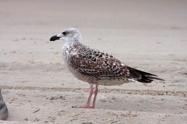 subadult Great Black-backed Gull