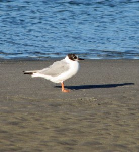 Bonaparte's Gull photograph in Maine, August. Photo by P. Vankevch