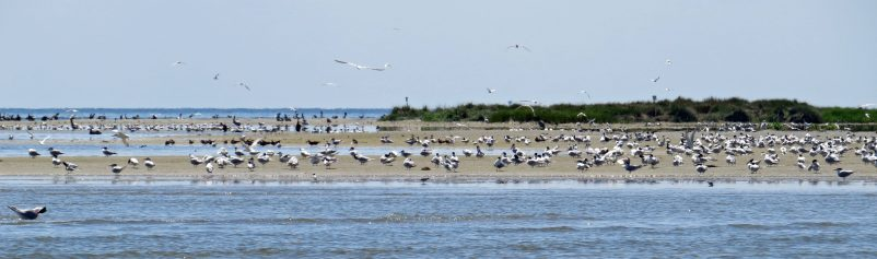 Big Foot Island, seen on the way to Swan Quarter, is where nesting pelicans have relocated since their prior spot on Beacon Island near Portsmouth was all but demolished by Hurricane Arthur in 2014.