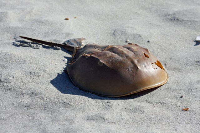 Horseshoe crabs molt and the shell, called carapace, is a common sight on Ocracoke. Photo by P. Vankevich