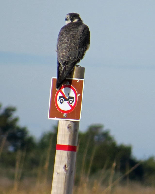 Peregrine Falcon on Portsmouth Island Christmas Bird Count