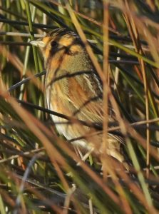 A Nelsons Sparrow seen on South Point Road. These birds are difficult to spot owing to their coloring which mimics the marshes they live in. Photo: Marky Mutchler.