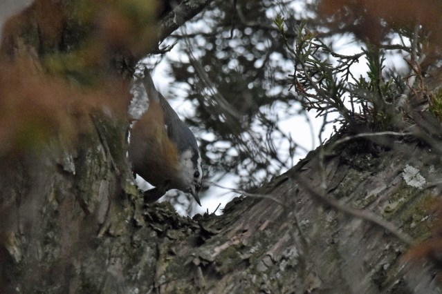 Red-breasted Nuthatch photographed by Marky Mutchler on Portsmouth Island.