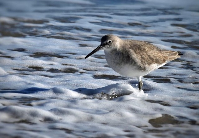 A Western Willet. Photo: Marky Mutchler