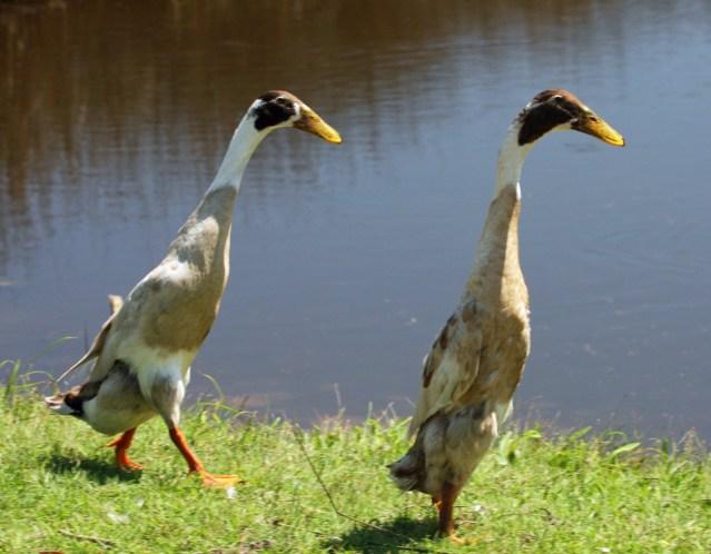 Indian Runner ducks on Ocracoke