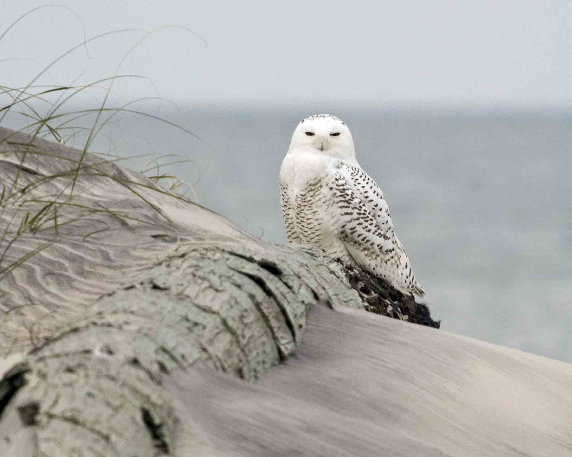 They Re Back Snowy Owls Return To North Carolina Ocracoke Observer