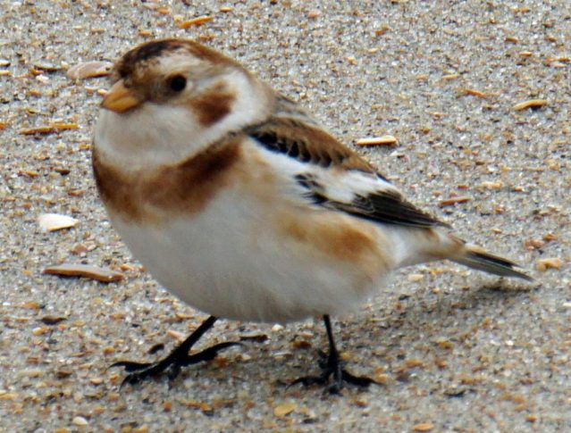 Snow bunting on Ocracoke, N.C.