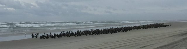These are just one group of the thousands of cormorants spotted Sunday, Feb. 4, all along Southpoint, Ocracoke, NC. Photo: C. Leinbach