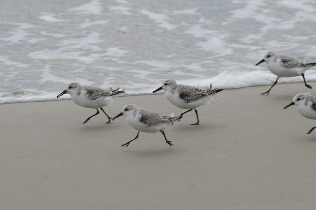 Sanderlings on Ocracoke, N.C. Photo: P. Vankevich