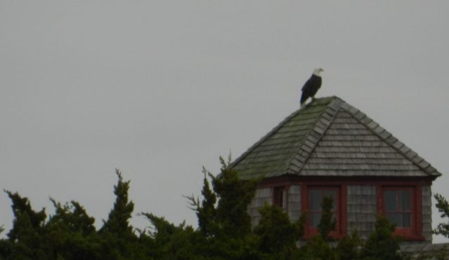 One of two Bald Eagles seen on the Portsmouth Island, NC, 2018 Christmas Bird Count. This one perched on the life-saving station. Photo by P. Vankevich