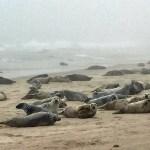Grey-seals-in-fog-Greg-Stroud