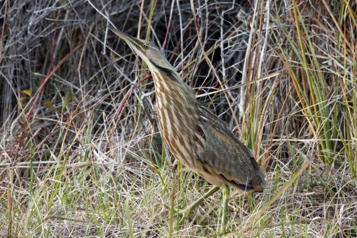 American Bittern, looking much like the marshland he inhabits, photographed along Ocracoke's NC 12. Photo: P. Vankevich