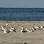 Lesser Black-backed Gull in flock