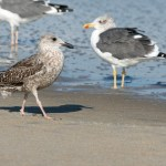 Lesser black-backed gull im & adult ps 2967