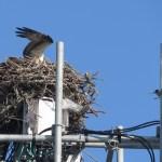 Osprey-Frisco-IMG_3087