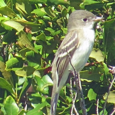 Rare for Ocracoke, N.C., a Traill's Flycatcher seen at the pony pasture, Sept. 25, 2021. Photo: Peter Vankevich