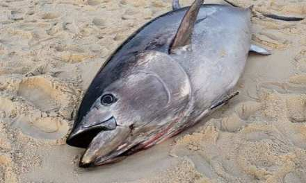 BERKELEY: Giant Tuna Discovered At Island Beach State Park