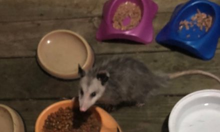 BARNEGAT: Large Raccoon