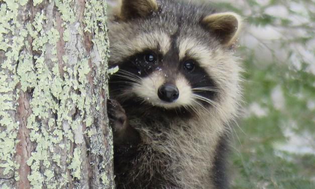 PINE BEACH: Raccoon Drama