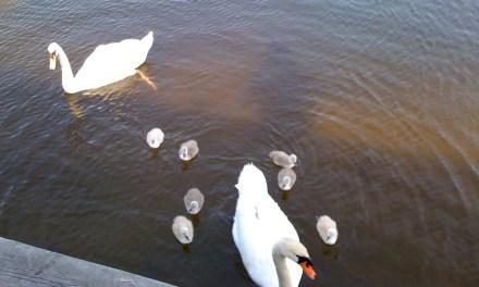 OCEAN: Aggressive Swan