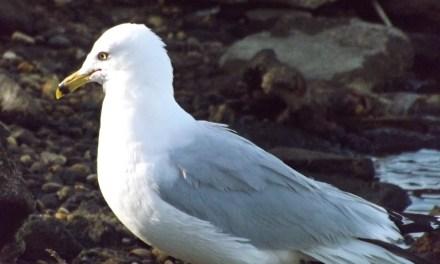 SSH: Injured Seagull