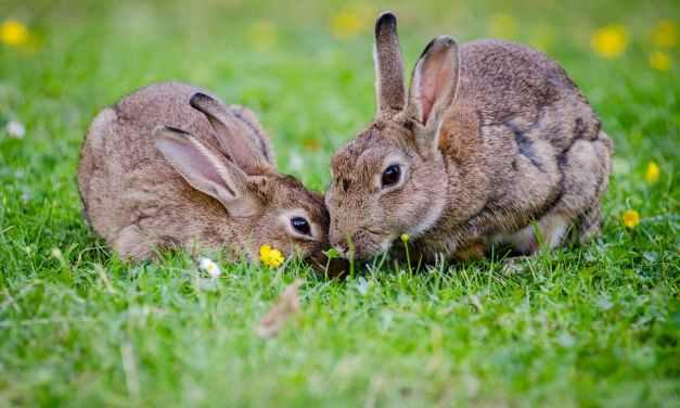 BARNEGAT: Injured Rabbit