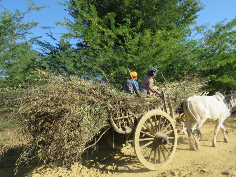 Farmers are transporting pigeon pea by ox cart in one of the research sites in the Central Dry Zone of Myanmar, January, 2017. Photo by Tian Lin.