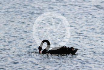 World © Octane Photographic Ltd. Formula 1 – Australian GP Qualifying. Black swan on the lake. Melbourne, Australia. Saturday 16th March 2019.