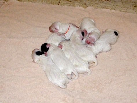 Camas x River pups- One day old