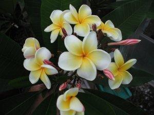 Patsy Tackett sells plumeria plants.