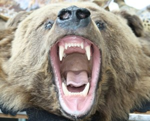 bear teeth