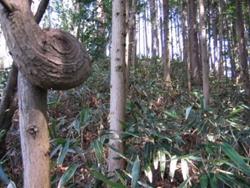隈笹の林を藪こぎをして・・・