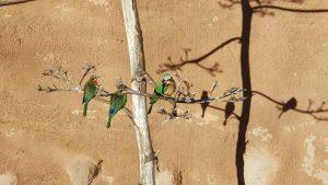 ציפורי אהבה על ענף