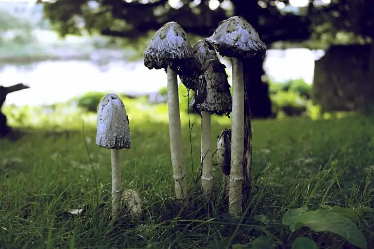 Maryculter House Mushrooms