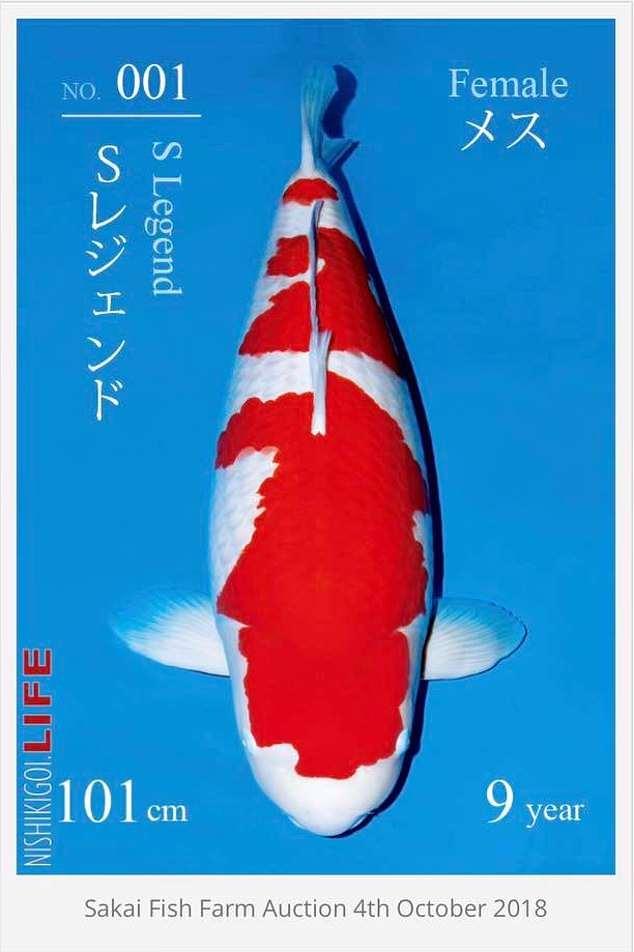 Ikan Koi Termahal : termahal, Penampakan, Legend, Termahal, Dunia,, Harganya, Bikin, Kantong, Bolong, Tribun, Medan
