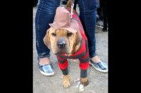 Freddy Krueger kostiumy na halloween dla psw