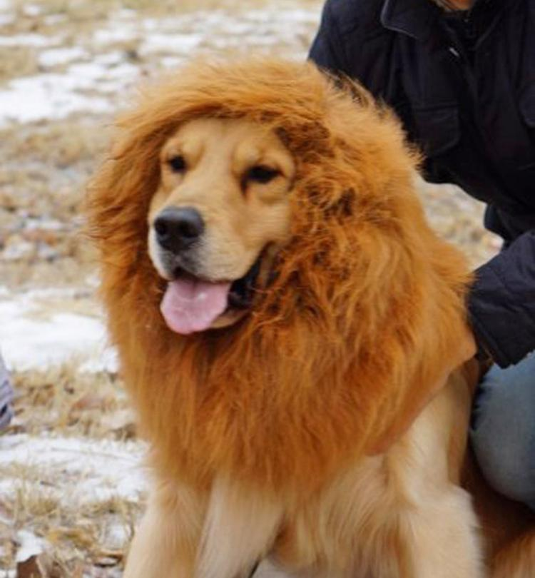 Cute Chow Chow Wallpapers Dog Lion Mane Costume