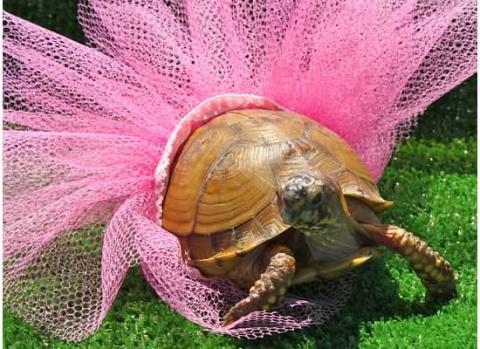 Turtle in a tutu